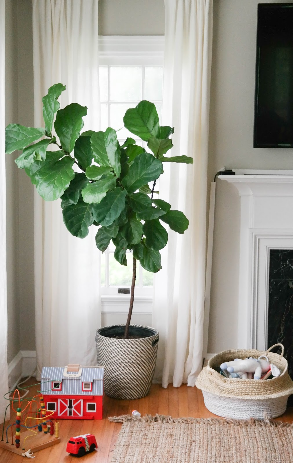Wannabe Green Thumb: Our Fiddle Leaf Fig Trees